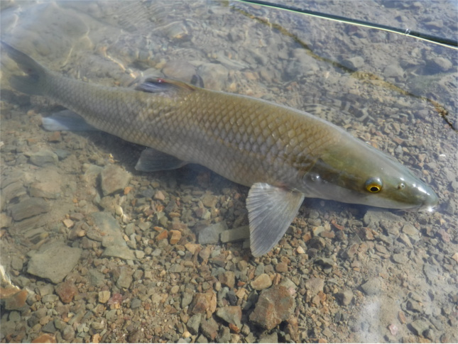 Barbel from new water