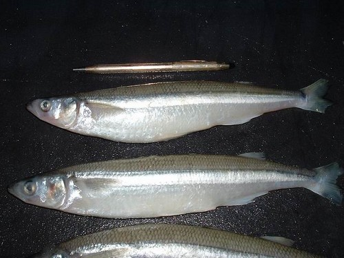 SMELT STANDARD SIZE - SMALL PACK product image
